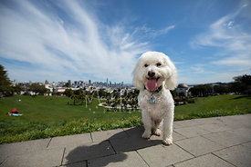 White Poodle mix at Duboce Park in San Francisco with City Skyline Behind