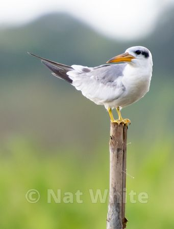 Amazon_Tern_Date_(Month_DD_YYYY)1_500_sec_at_f_5.6_