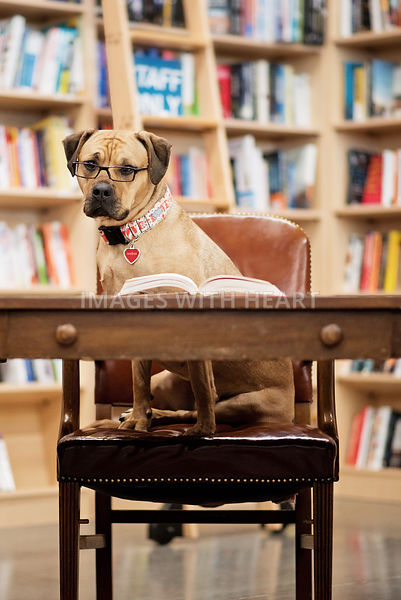 KH_Large_Dog_Sitting_In_Library_Chair_At_Desk