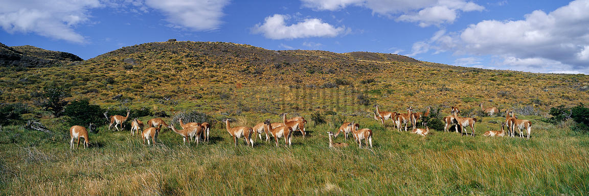 Guanacos in the Landscape