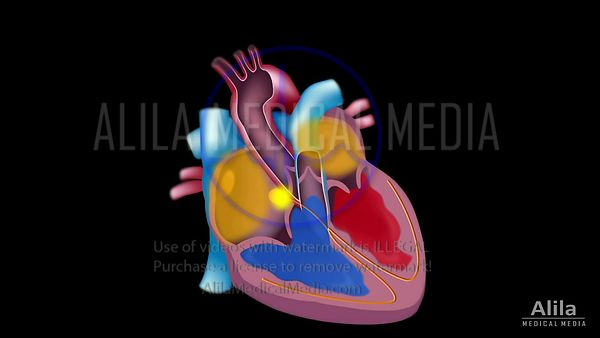 Cardiac conduction system loopable animation.