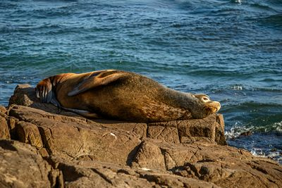 Male Callifornia Sea Lion, Zalophus californianus, laying on warm rocks above water.
