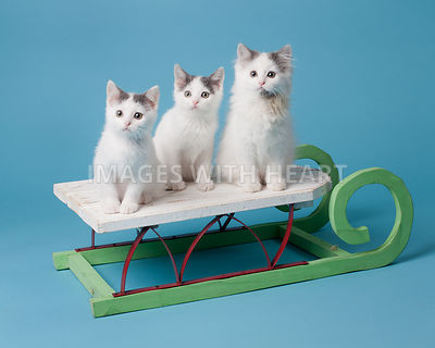 Kittens on Sled