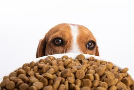 Close-up Studio Portrait of Dog Looking Over Dogfood Bowl