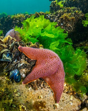 Bat Star browsing over mussels and rocks.