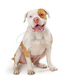 Panting white pet Pit Bull dog calm sitting