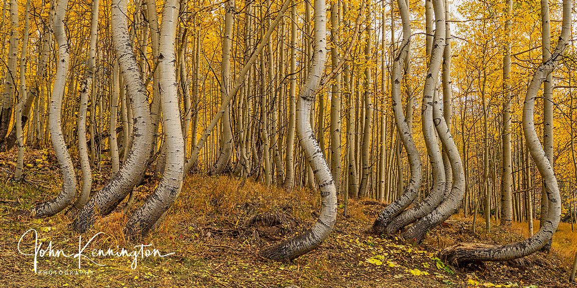 Dancing Aspens No. 6 (Panoramic), Uncompahgre National Forest, Colorado