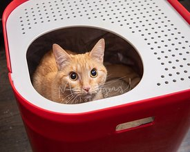 Surprised Orange Tabby Looks Up from Litterbox