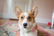 corgi potrait lifestyle indoors on colorful carpet