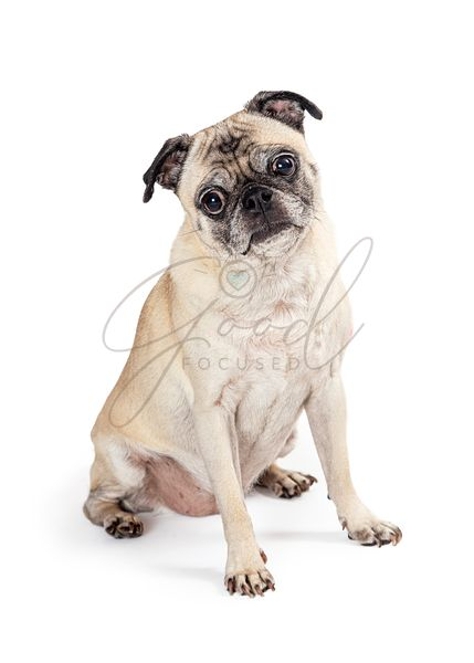 Young Pug Purebred Dog Sitting Looking
