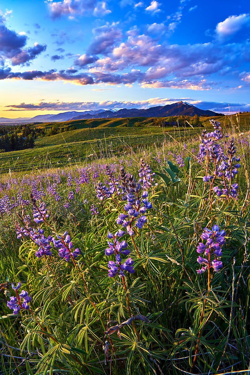 Gallatin Valley Lupine