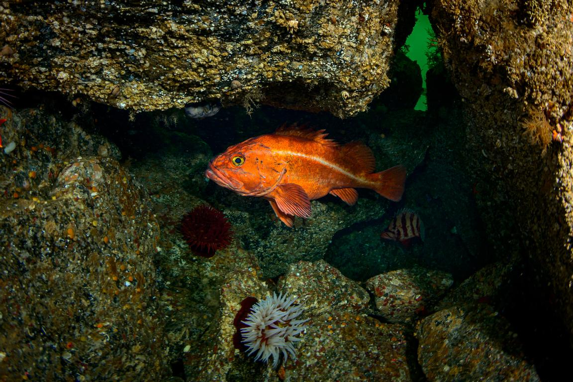 Very old Yelloweye Rockfish, Sebastus ruberrimus, in its lair under large boulders. Off the west coast of Vancouver Island ne...