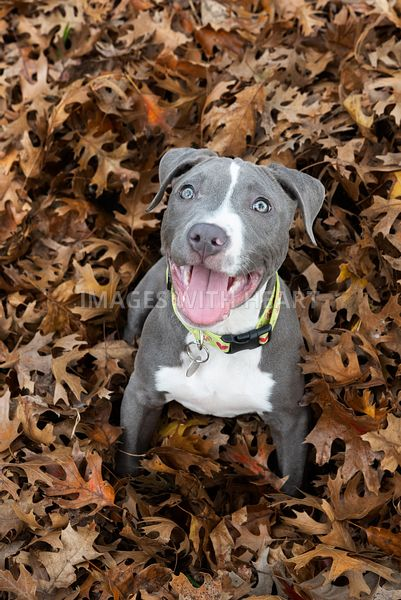 Blue pitbull puppy looking up at camera in a leaf pile