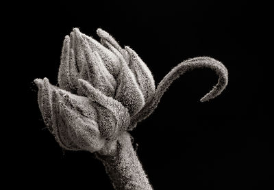 Monochrome Flower Bud