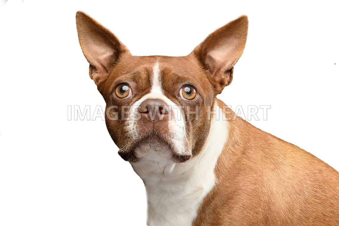 boston terrier looking at camera