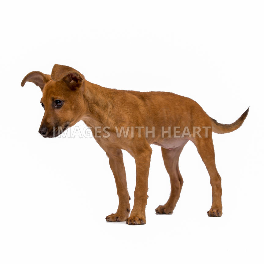 Brown puppy with large ears side view