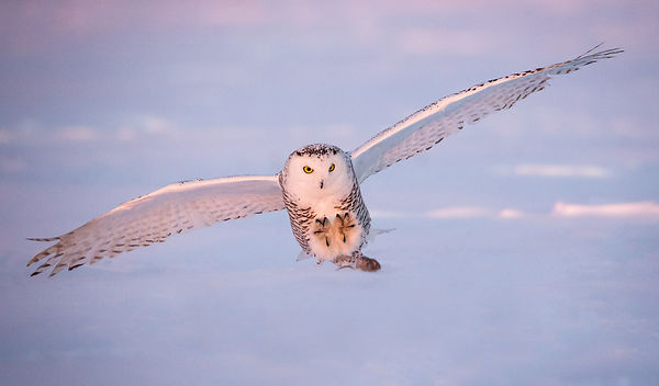 Snowy Owl and Mouse