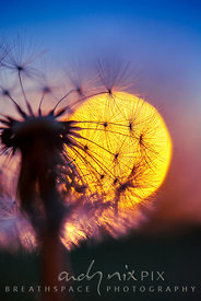 Wall Art Decor Photo Print: A view of the sunrise from inside a dandelion III