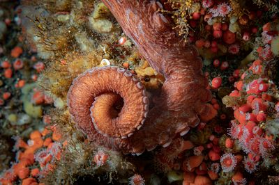 Closeup of Giant Pacific Octopus arm curled