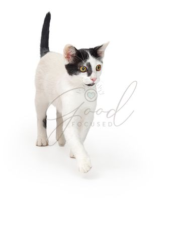 Cat Walking Forward Over White Background
