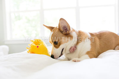 corgi dog plaing indoors on white bed with taco toy