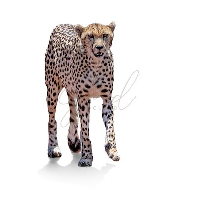 African Cheetah Cat Walking Isolated