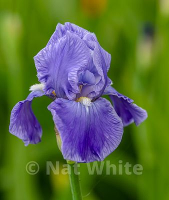 Iris_bloom-Yellow_Date_(Month_DD_YYYY)1_640_sec_at_f_4.5_