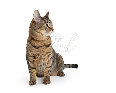 Tabby Cat Sitting on White Looking Side