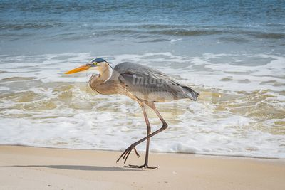 A Great Blue Heron in Perdido Key State Park, Florida