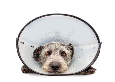 Sad Injured Dog Wearing Cone on White