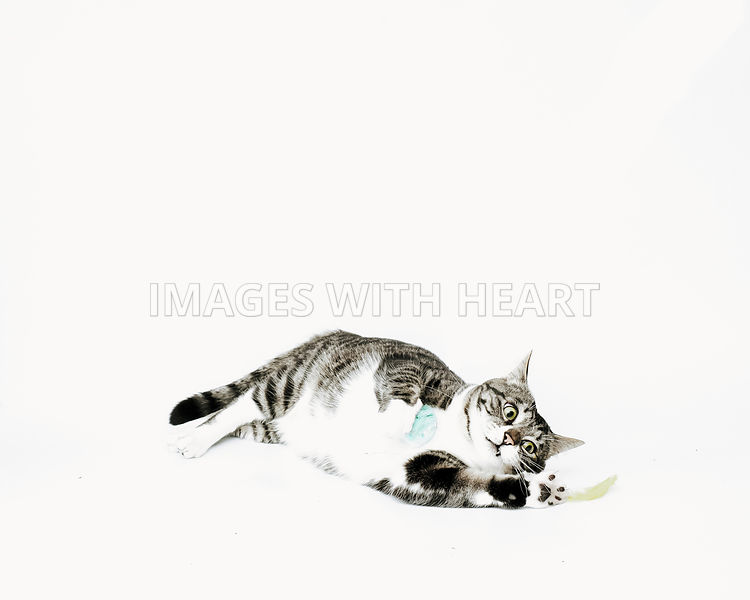 tabbyandwhitecatwithballandfeatherwhitebackground