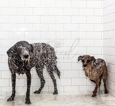 Two Unhappy Wet Dogs in Home Shower