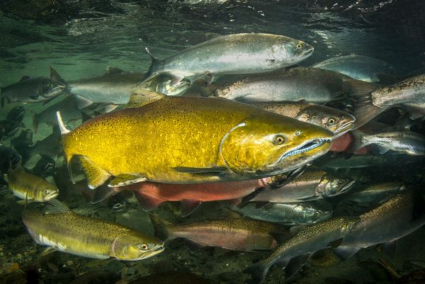 Chinook Salmon Underwater Images (Adults)