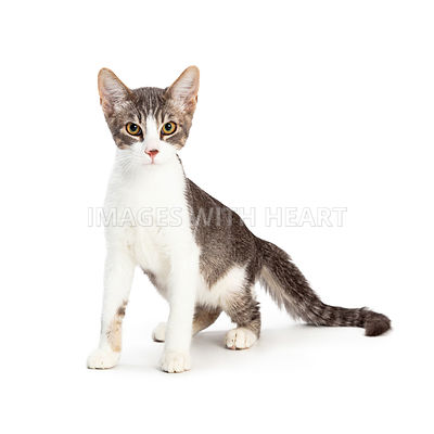 Grey and White Kitten Sitting Side Looking Forward