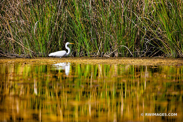 WHITE EGRET TURNER RIVER BIG CYPRESS NATIONAL PRESERVE EVERGLADES FLORIDA
