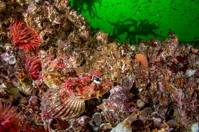 Perfectly camoflaged among barnacles and anemone on Vancouver Islands west coast, the Red Irish Lord lies in wait to ambush i...