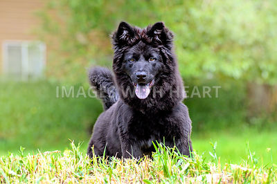 Black Swedish Lapphund Puppy in Park
