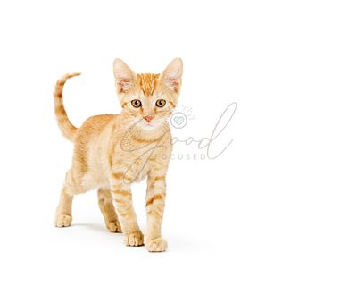 Cute Orange Kitten Looking Walking Forward