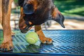 Young tan and black dog on picnic table sniffing tennis ball