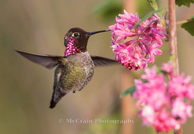 Annas Hummingbird, Male