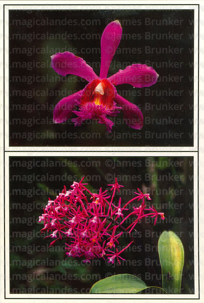 #47 Orchids of the  Inca Trail: Sobralia dichotoma (top ),  EpidendrumFriederici-Guilielmi (bottom)