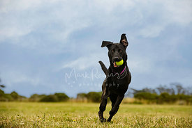 Black Labrador Running with Goofy Expression