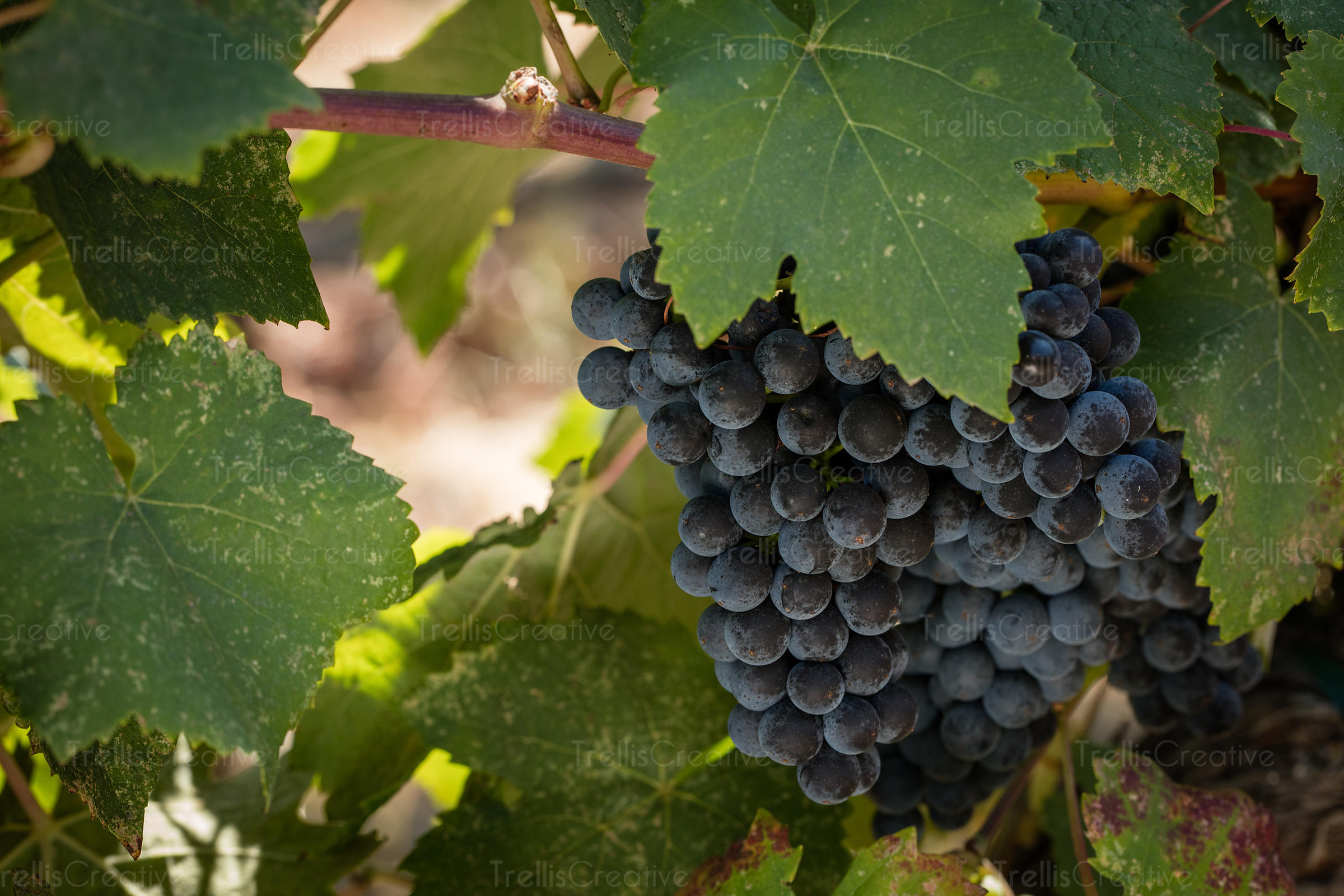 Close up of cluster of ripe cabernet sauvignon grapes on vine.