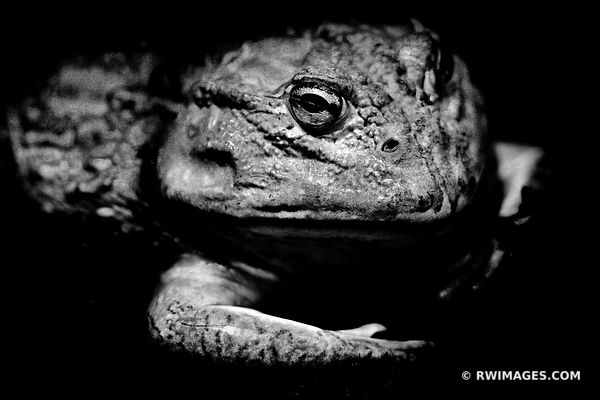 AFRICAN BULLFROG BLACK AND WHITE