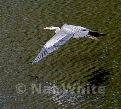 Heron_in_flight_NAW1758NAT_WHITE_May_08_2021