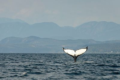 Humpback whale called Guardian