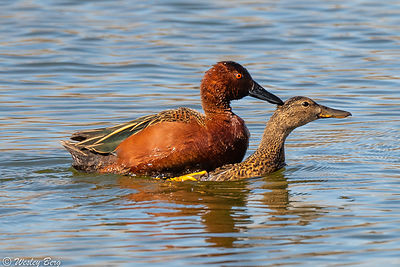 A Pair of Cinnamon Teal Ducks