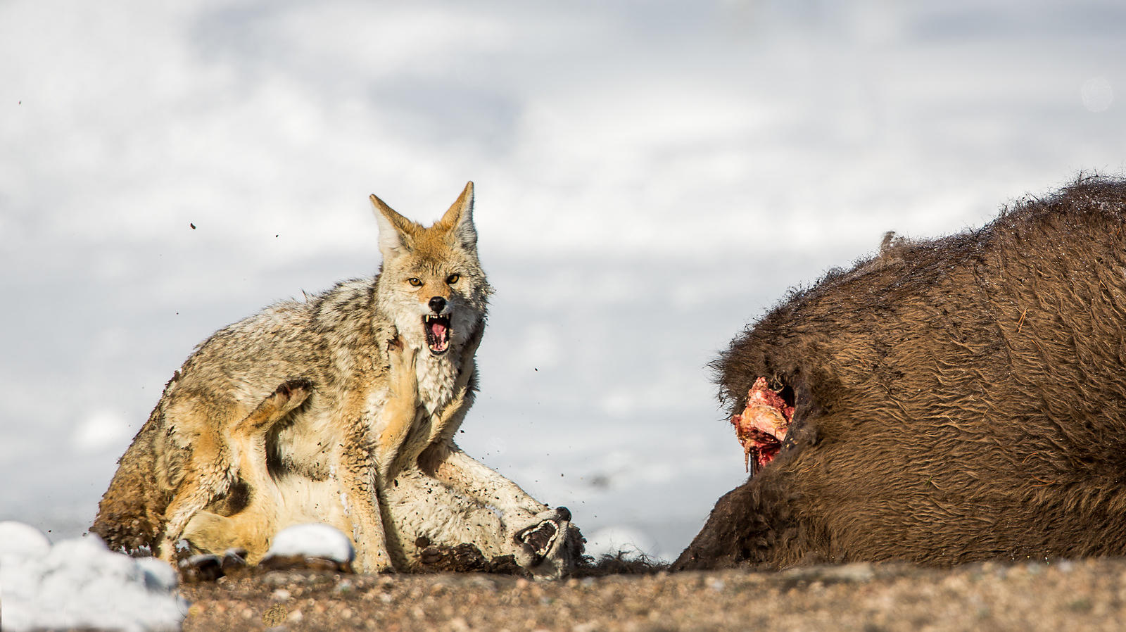 Coyotes fight for dominance next to a winter-kill bison. Yellowstone National Park, Wyoming, 2013.