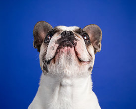 Studio Photo French Bulldog Looking Up on Blue Background