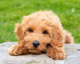 Close-up of Goldendoodle Puppy with Head Between Paws